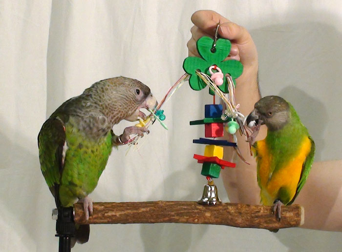 parrot play toy