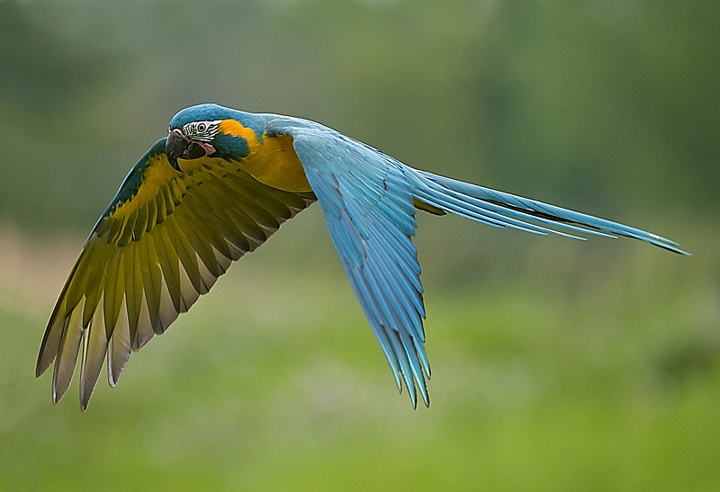Blue Throated Macaw fly