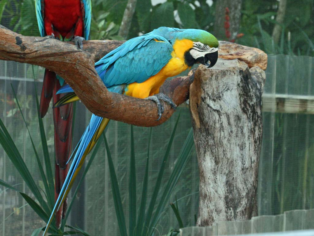 Macaw, Blue-and-Gold  BW Sandy