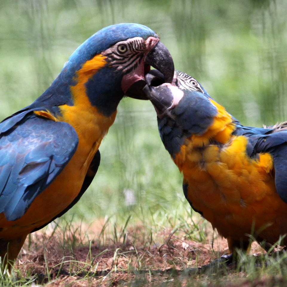 macaw_bluethroated4