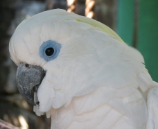 Blue Eyed Cockatoo